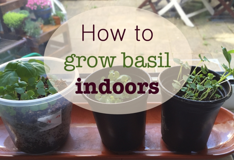 How to grow basil indoors – Tales from an Urban Garden