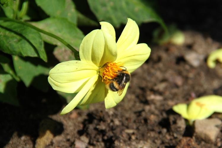biddulph-bee