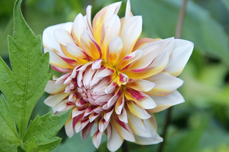 biddulph-flower